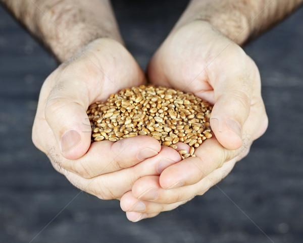 手 穀物 男性 全粒小麦 テクスチャ ストックフォト © elenaphoto