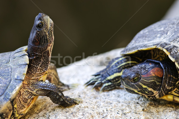 Red eared slider turtles Stock photo © elenaphoto