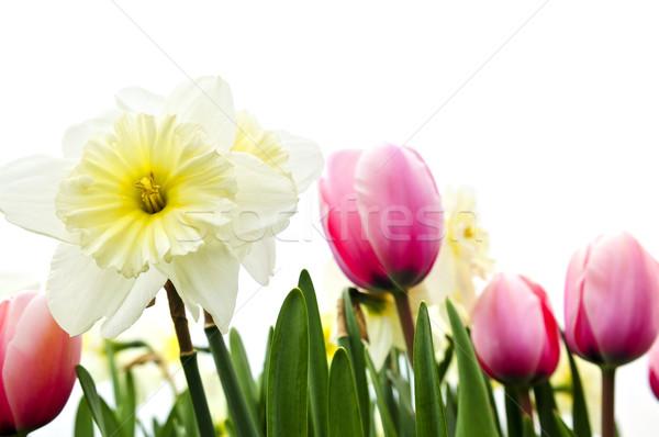 Tulipas narcisos branco isolado floral fronteira Foto stock © elenaphoto