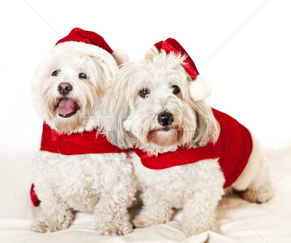 Stock photo: Two cute dogs in santa outfits
