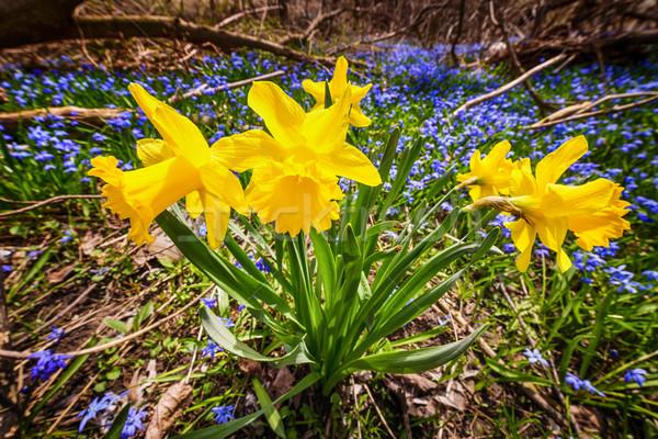 Stock foto: Frühling · Wildblumen · gelb · Narzissen · blau · Blumen