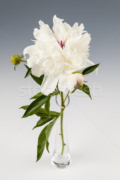 Stock photo: Peony flower in vase
