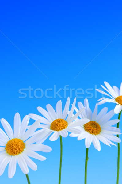 Stock photo: Daisy flowers on blue background