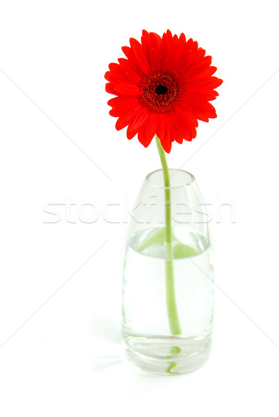 Red gerbera in a vase Stock photo © elenaphoto