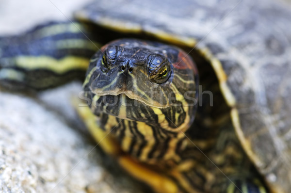 Red eared slider turtle Stock photo © elenaphoto