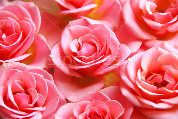Rózsaszín rózsák botanikus virág rózsaszín rózsa virágok Stock fotó © elenaphoto