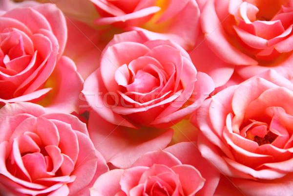 Roze rozen botanisch bloem bloesems Stockfoto © elenaphoto