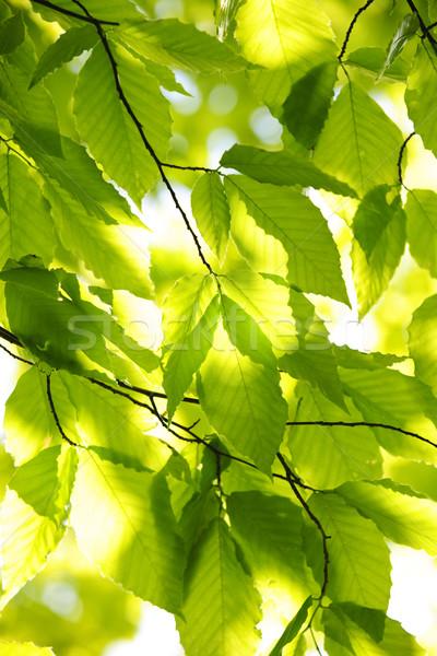 Yeşil bahar yaprakları ağaç güneş doğal Stok fotoğraf © elenaphoto