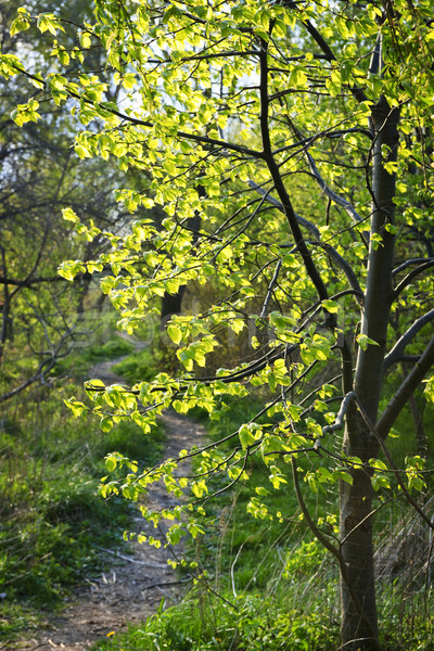 Forest path with backlit linden tree Stock photo © elenaphoto