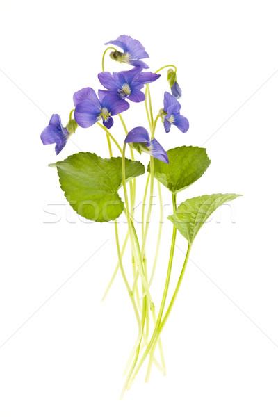 весны белый Purple листьев изолированный Сток-фото © elenaphoto
