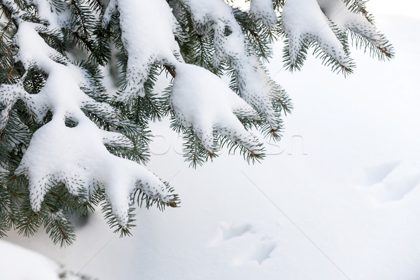 Kar kış yaprak dökmeyen ağaç kabarık Stok fotoğraf © elenaphoto