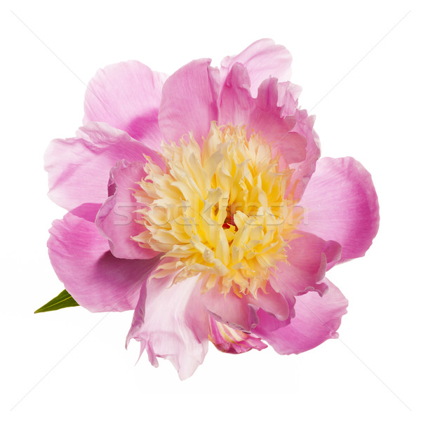 Isolated peony flower Stock photo © elenaphoto