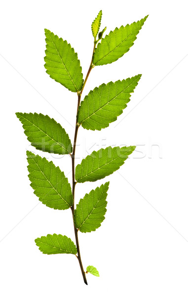 Branch with green leaves Stock photo © elenaphoto