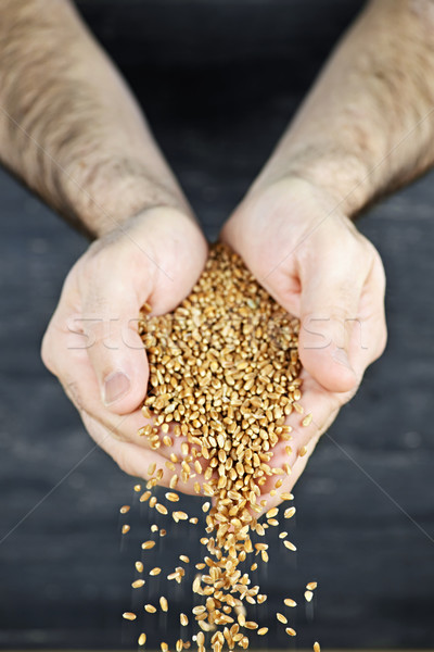 Hands pouring grain Stock photo © elenaphoto