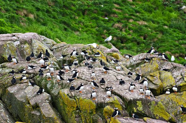 Zdjęcia stock: Skał · nowa · fundlandia · ptaków · wyspa · Kanada · trawy