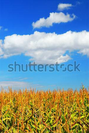 Kukurydza dziedzinie gospodarstwa rozwój Błękitne niebo niebo Zdjęcia stock © elenaphoto