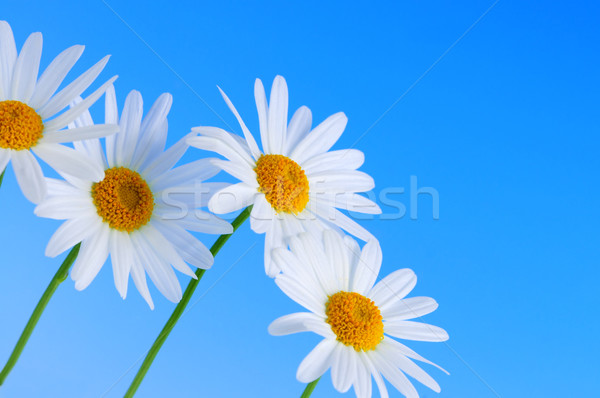 Stockfoto: Daisy · bloemen · Blauw · rij · lichtblauw · hemel