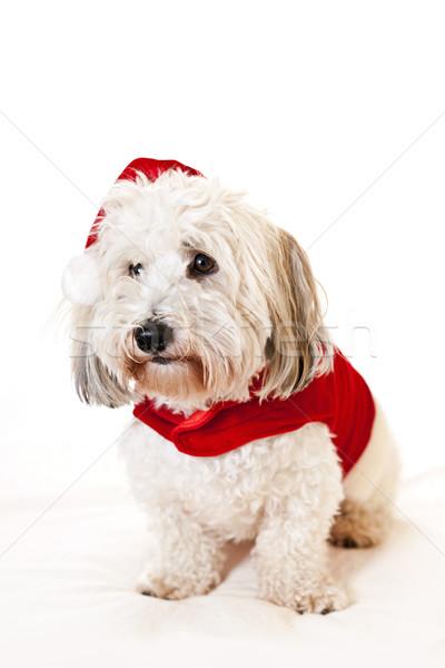 Cute dog in santa outfit Stock photo © elenaphoto