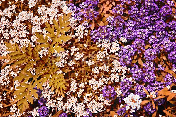 White and purple rock cress flowers Stock photo © elenaphoto