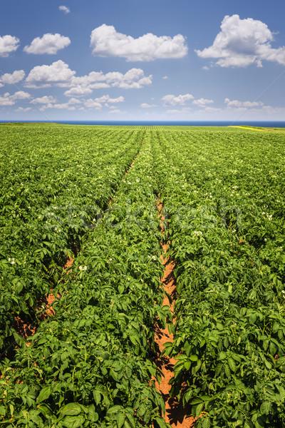 Patate campo isola del principe edoardo impianti crescita Foto d'archivio © elenaphoto