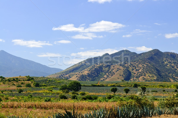 Paysage Mexique agave cactus champs tequila Photo stock © elenaphoto