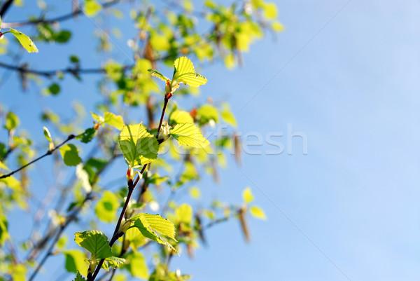 Spring branches Stock photo © elenaphoto