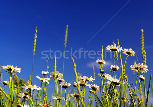 лет луговой Daisy цветы ярко Сток-фото © elenaphoto