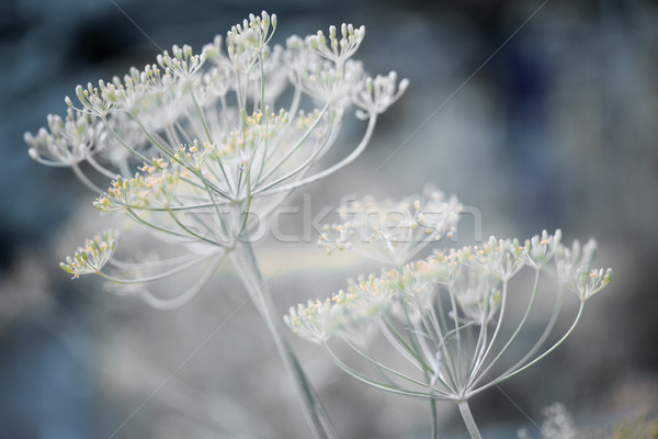 Flowering dill clusters Stock photo © elenaphoto