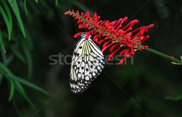 Rice paper butterfly Stock photo © elenaphoto