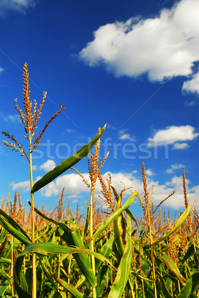 Corn field Stock photo © elenaphoto