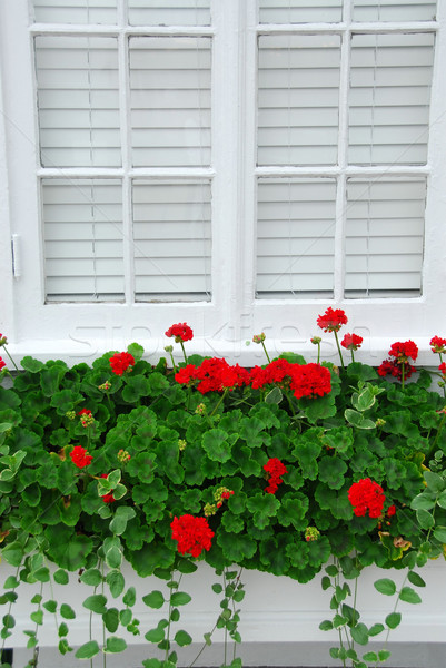 Geraniums on window Stock photo © elenaphoto