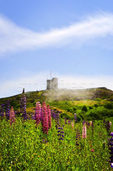 саду цветы сигнала холме Полевые цветы святой Сток-фото © elenaphoto