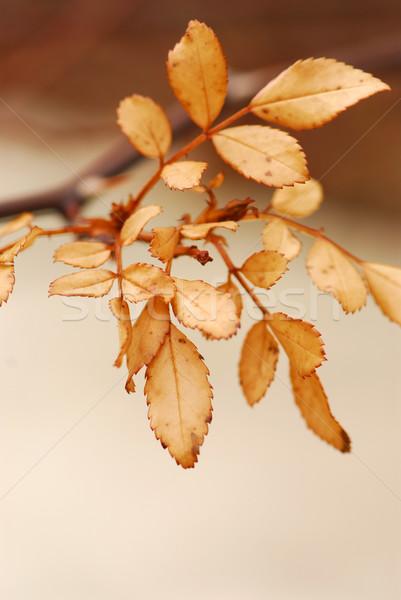 Dry leaves Stock photo © elenaphoto