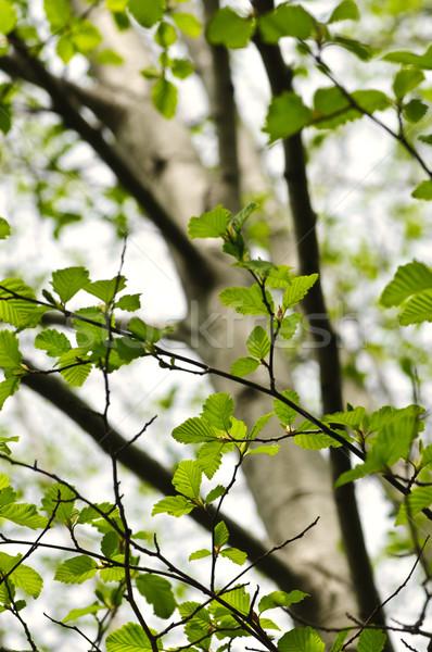 ニレ ツリー 春 緑 葉 ストックフォト © elenaphoto