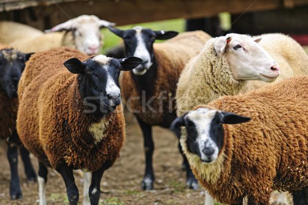 ストックフォト: 羊 · ファーム · グループ · かわいい · 立って · 小