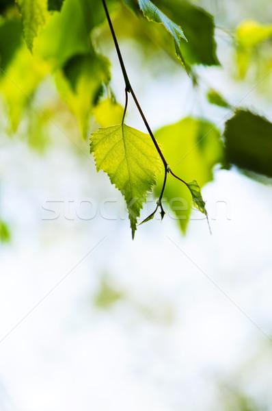 Stok fotoğraf: şube · yeşil · yaprakları · huş · ağacı · doku