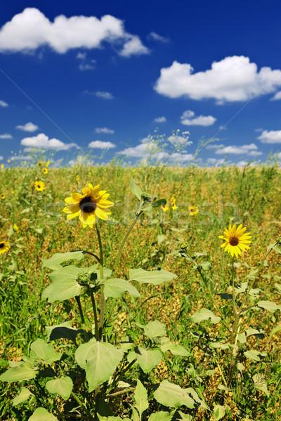 Słoneczniki preria słonecznika roślin rozwój dziedzinie Zdjęcia stock © elenaphoto