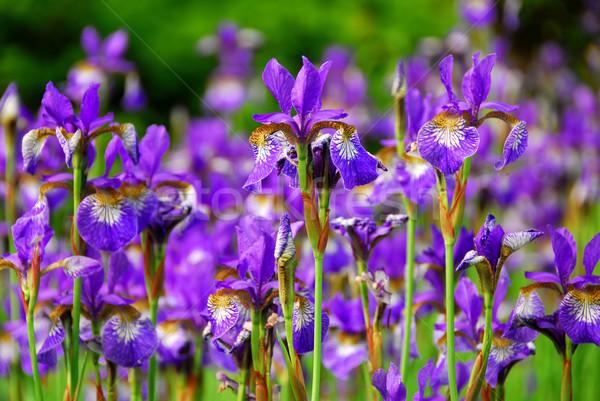Irises Stock photo © elenaphoto