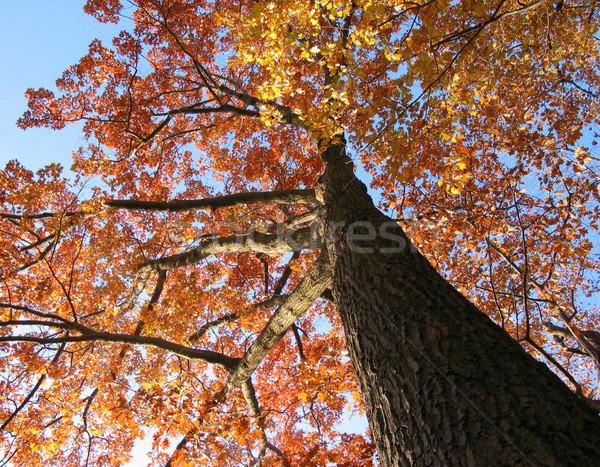 Oude eik vallen heldere blauwe hemel hemel Stockfoto © elenaphoto