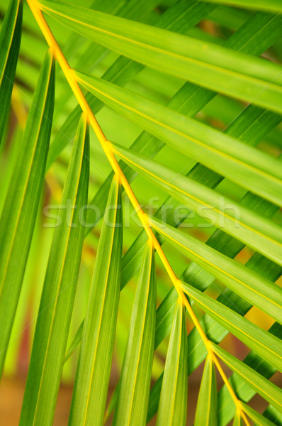 Palm tree leaves  Stock photo © elenaphoto