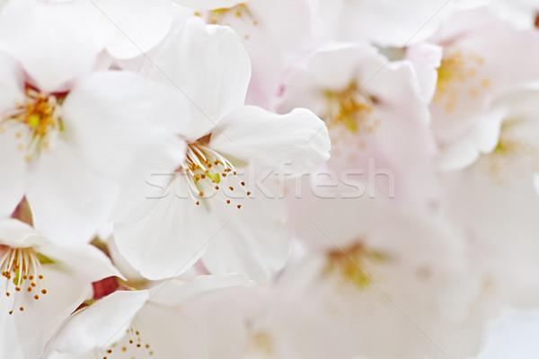 Apple blossoms Stock photo © elenaphoto