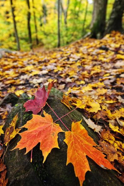 Fall leaves in forest Stock photo © elenaphoto