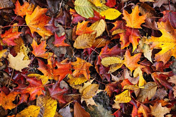 Fall leaves background Stock photo © elenaphoto