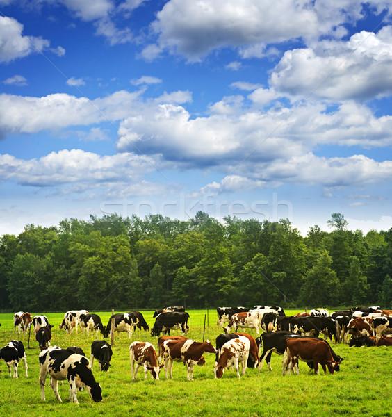 Cows in pasture Stock photo © elenaphoto
