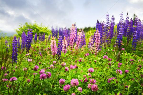 Purple розовый Полевые цветы клевера саду Ньюфаундленд Сток-фото © elenaphoto