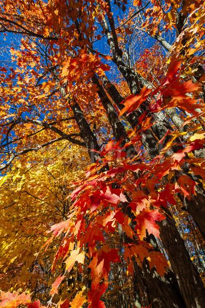 Fall maple forest Stock photo © elenaphoto