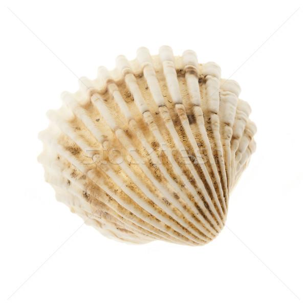 Cockle shell Stock photo © elenaphoto