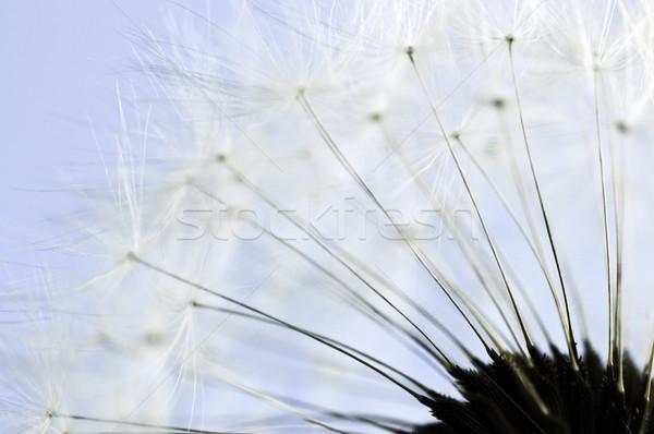 Paardebloem macro zaden blauwe hemel achtergrond Blauw Stockfoto © elenaphoto