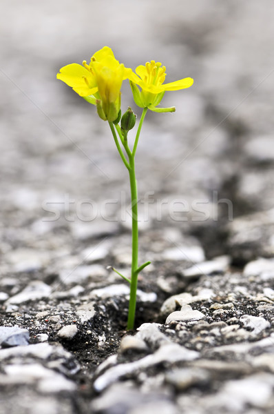 Stock photo: Flower growing from crack in asphalt