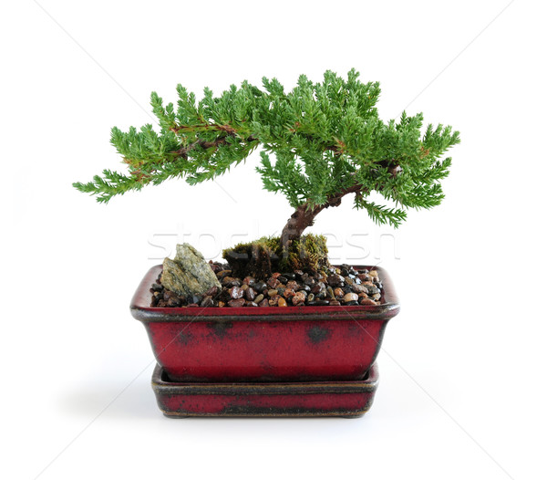 Bonsai tree Stock photo © elenaphoto